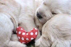 Sypialni labradorów szczeniaki na zielonej trawie Obraz Royalty Free