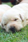 Sypialni labradorów szczeniaki na zielonej trawie - trzy tygodnia starego. Zdjęcie Stock