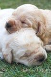 Sypialni labradorów szczeniaki na zielonej trawie - trzy tygodnia starego. Zdjęcie Royalty Free
