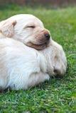 Sypialni labradorów szczeniaki na zielonej trawie - trzy tygodnia starego. Zdjęcia Royalty Free