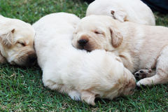 Sypialni labradorów szczeniaki na zielonej trawie - trzy tygodnia starego. Fotografia Stock