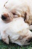 Sypialni labradorów szczeniaki na zielonej trawie - trzy tygodnia starego. Obrazy Stock