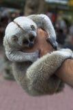 Sypialni lemury w męskiej ręce Zdjęcia Stock