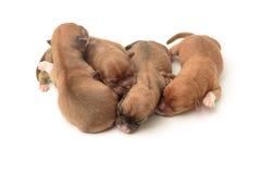 Sypialni nowonarodzeni chihuahua szczeniaki Obrazy Royalty Free