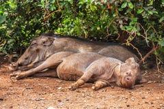 Sypialni warthogs w Kenya obraz royalty free