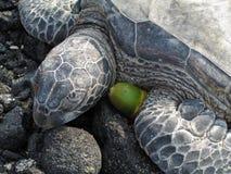 sypialny żółw obraz stock