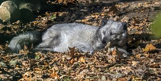 Sypialny Arktyczny lis Fotografia Stock