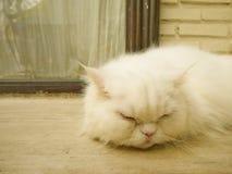 Sypialny biały kot Zdjęcia Stock