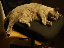 Sypialny brytyjski shorthair kot zdjęcie royalty free