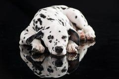 Sypialny dalmatian pies odizolowywający na czerni fotografia stock