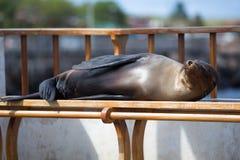 Sypialny Denny lew na ławce, Galapagos wyspy Obraz Stock