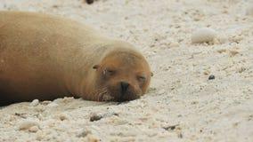 Sypialny denny lew przy isla genovesa w Galapagos zbiory wideo