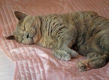 Sypialny dozy zarodowy kot na różowym atłasu prześcieradle Fotografia Stock