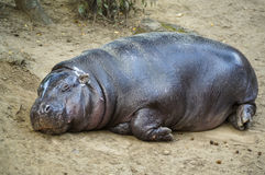 Sypialny hipopotam Fotografia Royalty Free