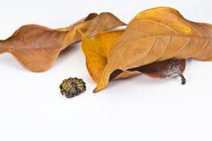 Sypialny insekt z liściem Obrazy Stock