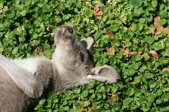 Sypialny kangur Obraz Royalty Free