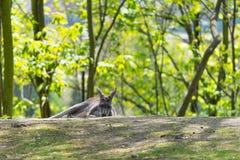Sypialny kangur Kangura lying on the beach na ziemi Obraz Royalty Free
