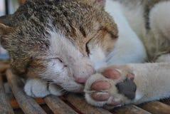 Sypialny kota zakończenie Fotografia Royalty Free