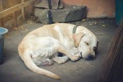 Sypialny labradora pies na ziemi fotografia royalty free