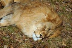 Sypialny lew Zdjęcie Stock