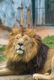 Sypialny lew patrzał round obrazy stock