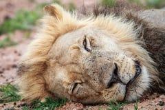 Sypialny lew w Kgalagadi Zdjęcia Stock