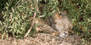 Sypialny lew w krzaku Fotografia Royalty Free