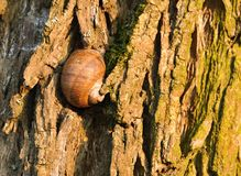 Sypialny ślimaczek na drzewnej barkentynie Zdjęcie Stock