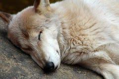 Sypialny meksykański kojot Zdjęcia Stock