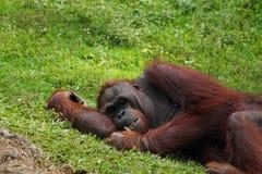 Sypialny orangutan Zdjęcia Royalty Free