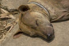 Sypialny pies na chodniczku obrazy royalty free