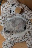 Sypialny pies na pluszowych śnieżnych lampartach Zdjęcia Stock