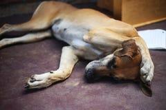 Sypialny pies z łapą na swój głowie zdjęcie stock