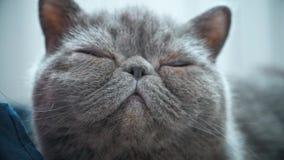 Sypialny popielaty kot w kota łóżku zdjęcie wideo