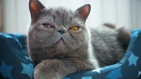 Sypialny popielaty kot w kota łóżku zbiory