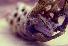 Sypialny princess - jaszczurka Obrazy Royalty Free