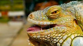 Sypialny smok Zakończenie portret odpoczynkowa wibrująca jaszczurka Selekcyjna ostrość Zielony iguana miejscowy tropikalni tereny zbiory