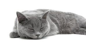 Sypialny szary kot na białym backgroun (traken prosty) Obrazy Royalty Free