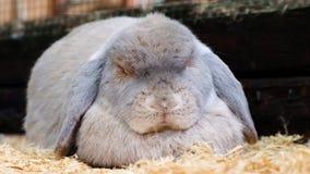 Sypialny szary królik w kontaktowym zoo Śmieszny królika sen zbiory