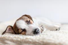 Sypialny szczeniak na psim łóżku zdjęcia royalty free