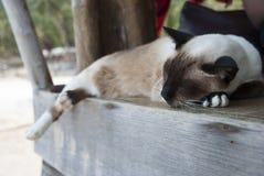 Sypialny Tajlandzki kot Fotografia Stock