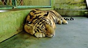 Sypialny tygrys Zdjęcie Stock