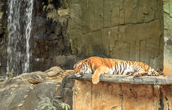 Sypialny tygrys Obrazy Stock