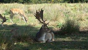 Sypialny ugoru rogacza jeleń zbiory