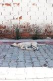 Sypialny ulica pies Obrazy Stock