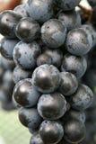 syrah виноградин Стоковые Фотографии RF
