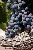 Syrah grapes. Ripening on the vine Royalty Free Stock Image