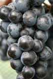 Syrah Grapes Royalty Free Stock Photos