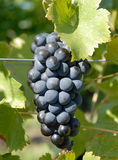 Syrah/Shiraz Grapes Royalty Free Stock Photography