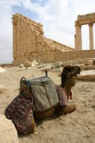 Syria. Camel in palmyra Stock Photography